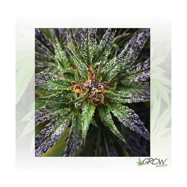 Purple Queen Royal Queen Seeds - 5 Seeds