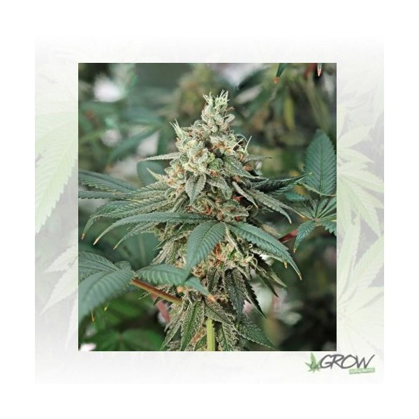 Fat Banana Royal Queen Seeds - 1 Seed