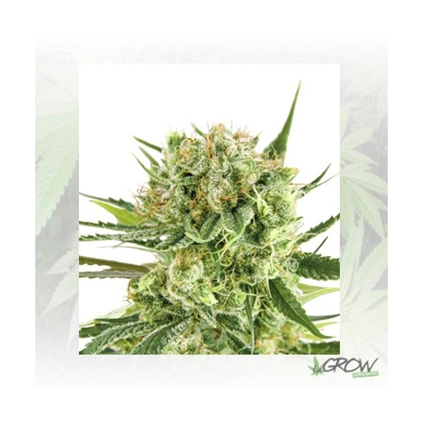 Royal Cookies Auto Royal Queen Seeds - 5 Seeds