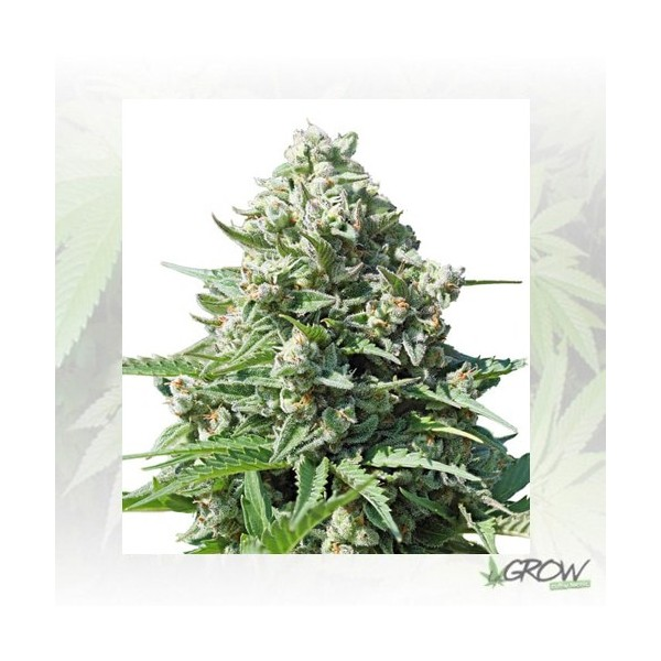 Royal Gorilla Auto Royal Queen Seeds - 1 Seed