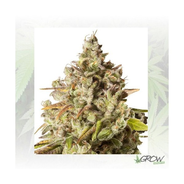 Royal Gorilla Royal Queen Seeds - 1 Seed