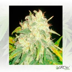 IL Diavolo Auto Delicious Seeds - 3 Seeds