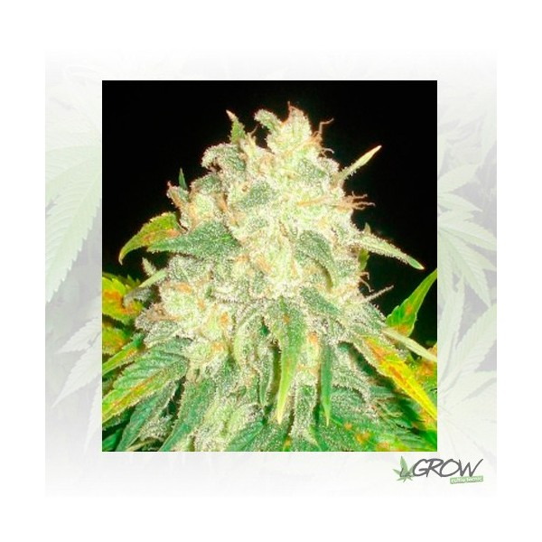 IL Diavolo Auto Delicious Seeds - 5 Seeds