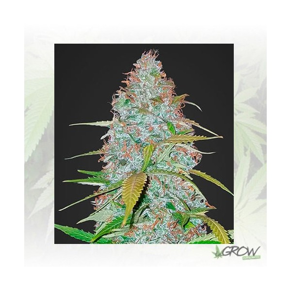 Californian Snow Auto FastBuds - 5 Seeds