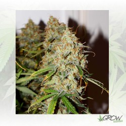 Auto Brooklyn Sunrise® Dutch Passion - 3 Seeds