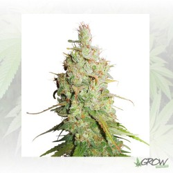 Auto Desfrán® Dutch Passion - 3 Seeds