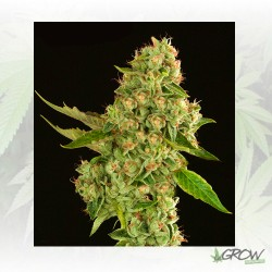 Kuchi Devil's Harvest Seeds - 5 Seeds