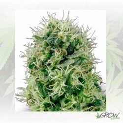 Pure Power Plant White Label - 5 Seeds