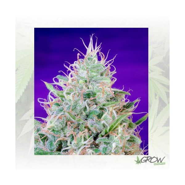 Green Poison® Sweet Seeds - 5 Seeds