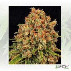 Kritical Max Venus Genetics - 10 Seeds