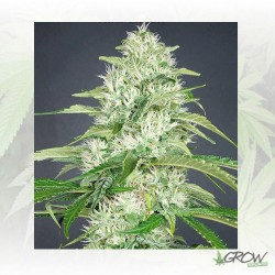 Double Cheese Venus Genetics - 10 Seeds