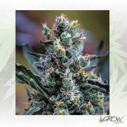 Northern Light Blue Delicious Seeds - 1 Seed
