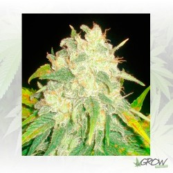 IL Diavolo Auto Delicious Seeds - 1 Seed