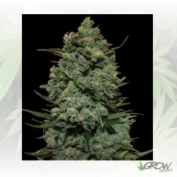Cookies Kush™ Barneys Farm - 5 Seeds