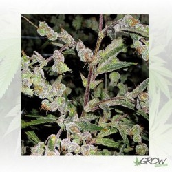 Dr Grinspoon™ Barney's Farm - 3 Seeds
