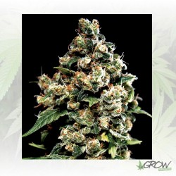 Jack Herer Greenhouse - 10 Seeds