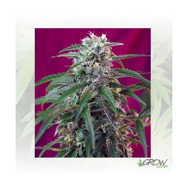 Green Poison Auto® Sweet Seeds - 5 Seeds
