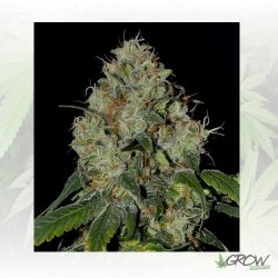White Dragon Eva Seeds - 3 Seeds