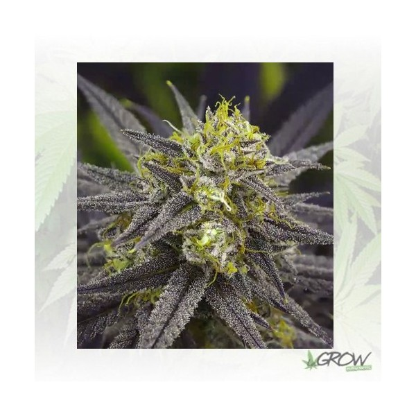 Zombie Kush Ripper Seeds - 3 Seeds