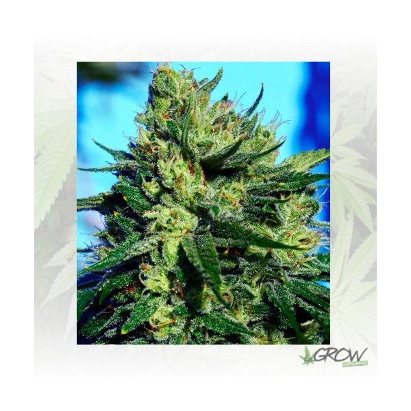 Jack La Mota Medical Seeds - 5 Seeds