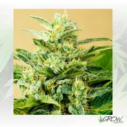Low Girl Auto Advanced Seeds - 1 Seed