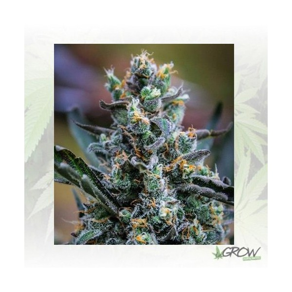 Northern Light Blue Delicious Seeds - 3 Seeds