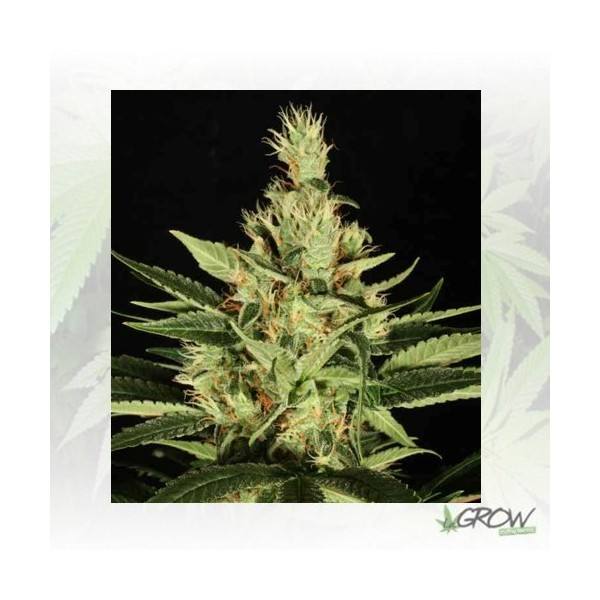 Ortega Indica Dutch Passion - 5 Seeds