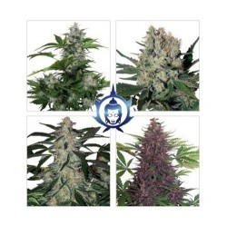 Assorted Auto Buddha Seeds - 10 Seeds