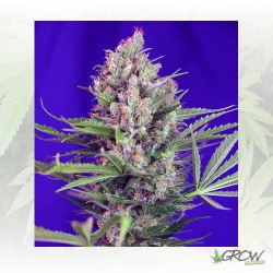 Cream Mandarine Fast Version Sweet Seeds - 5 Seeds