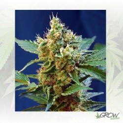 Cream Mandarine XL Auto® Sweet Seeds - 3 Seeds