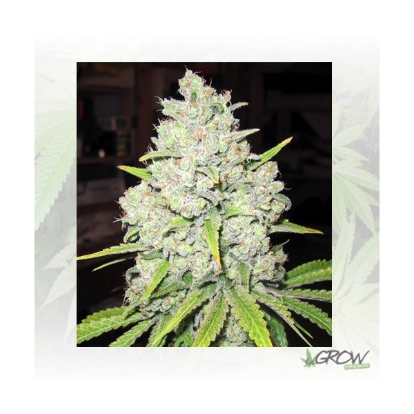Prozack Medical Seeds - 5 Seeds