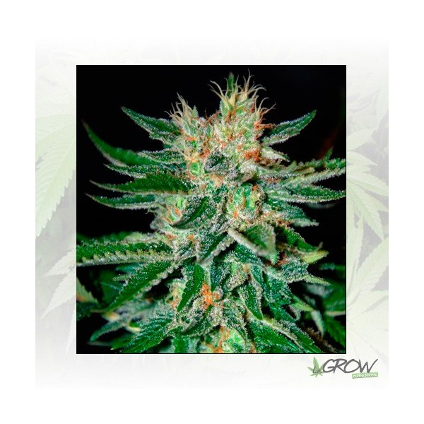 Sugar Black Rose Delicious Seeds - 3 Seeds
