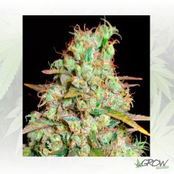 Critical Super Silver Haze Delicious Seed - 3 Seed