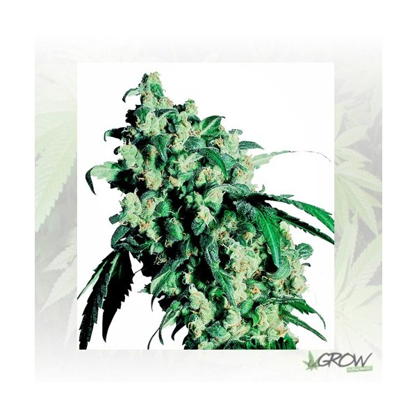 Super Skunk Sensi Seeds - 5 Seeds