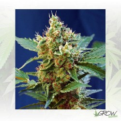 Cream Mandarine XL Auto® Sweet Seeds - 5 Seeds