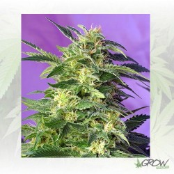 Killer Kush Auto Sweet Seeds - 3 Seeds
