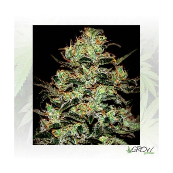 Moby Dick GreenHouse - 3 Seeds
