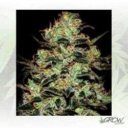 Moby Dick Green House Seeds® - 3 Seeds