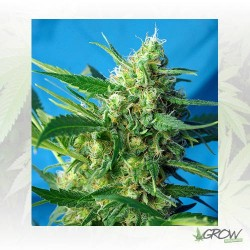 Ice Cool Auto® Sweet Seeds - 5 Seeds